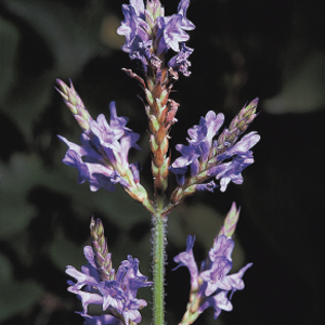 Lavandula canariensis